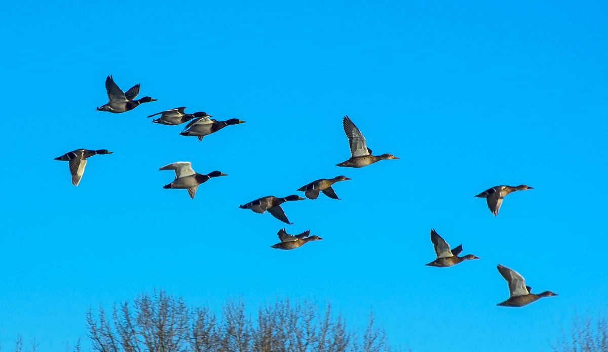 Mallards in flight - Hull's Wood - January 1, 2016