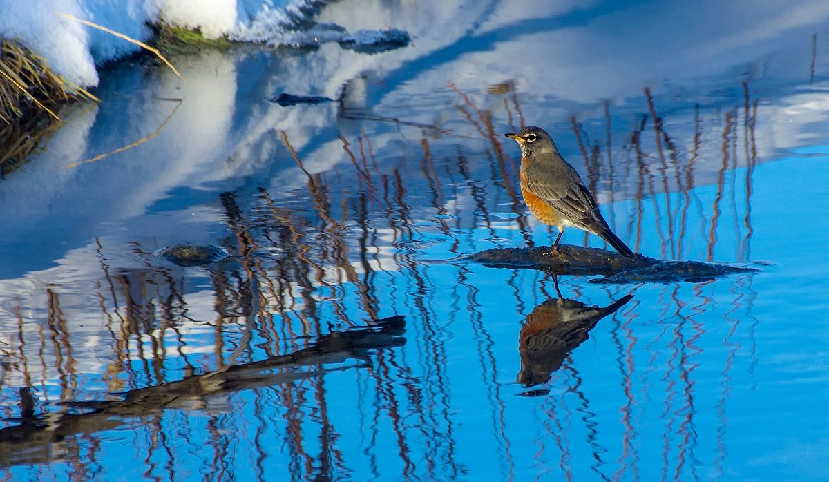 American Robin - Shaw's Meadow - January 1, 2016