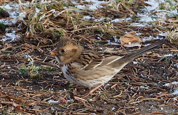 Trevor Churchill Harris's Sparrow, IGC