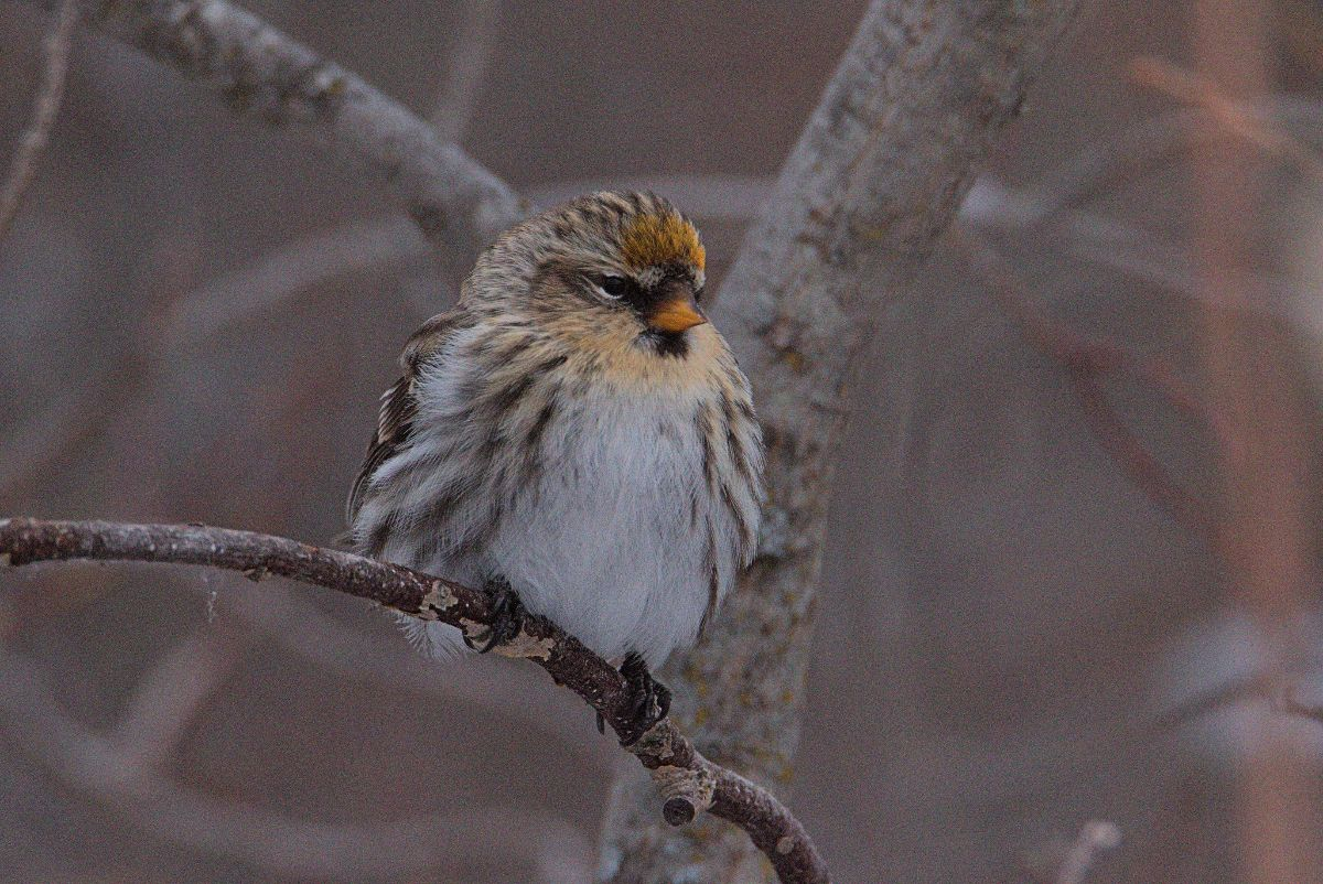 Yellow Redpoll