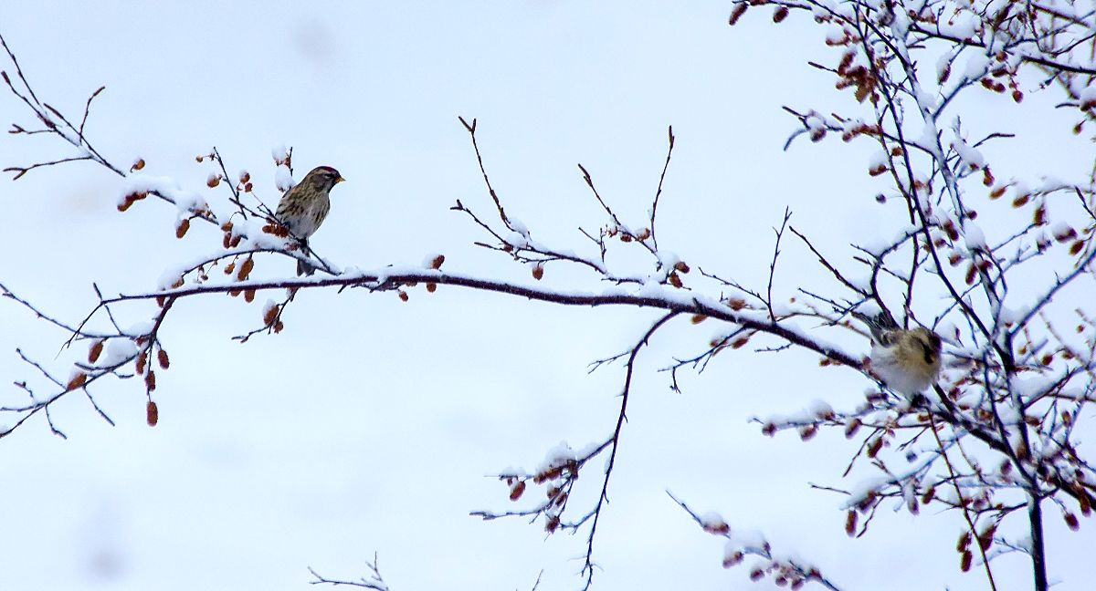 Common (left) and Hoary (right) Redpolls