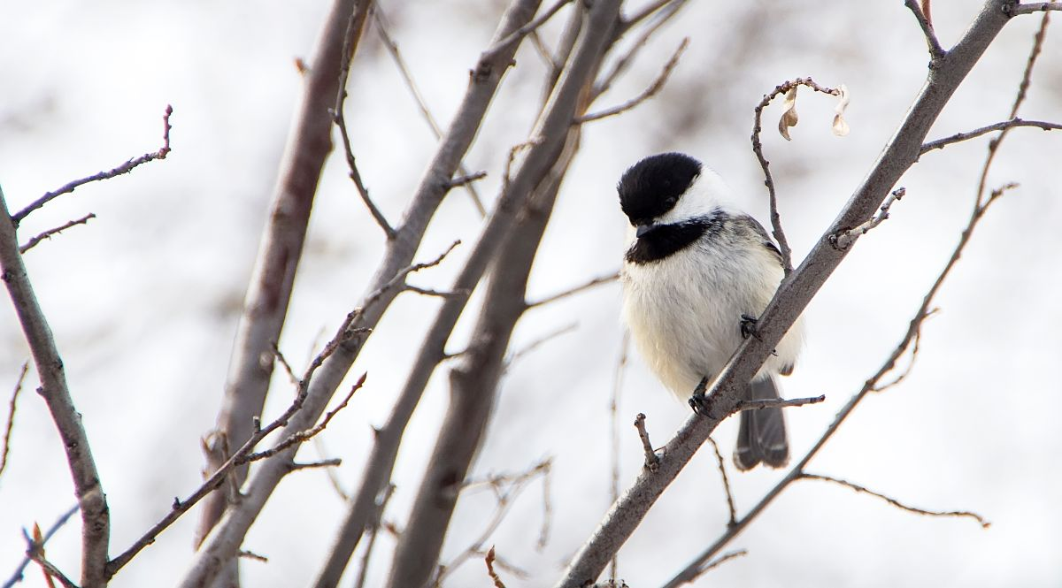 healthy Black-capped Chickadee