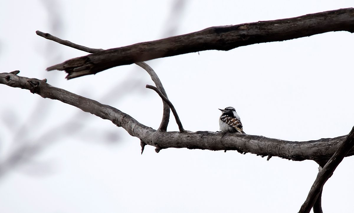 Downy Woodpecker with dilute plumage