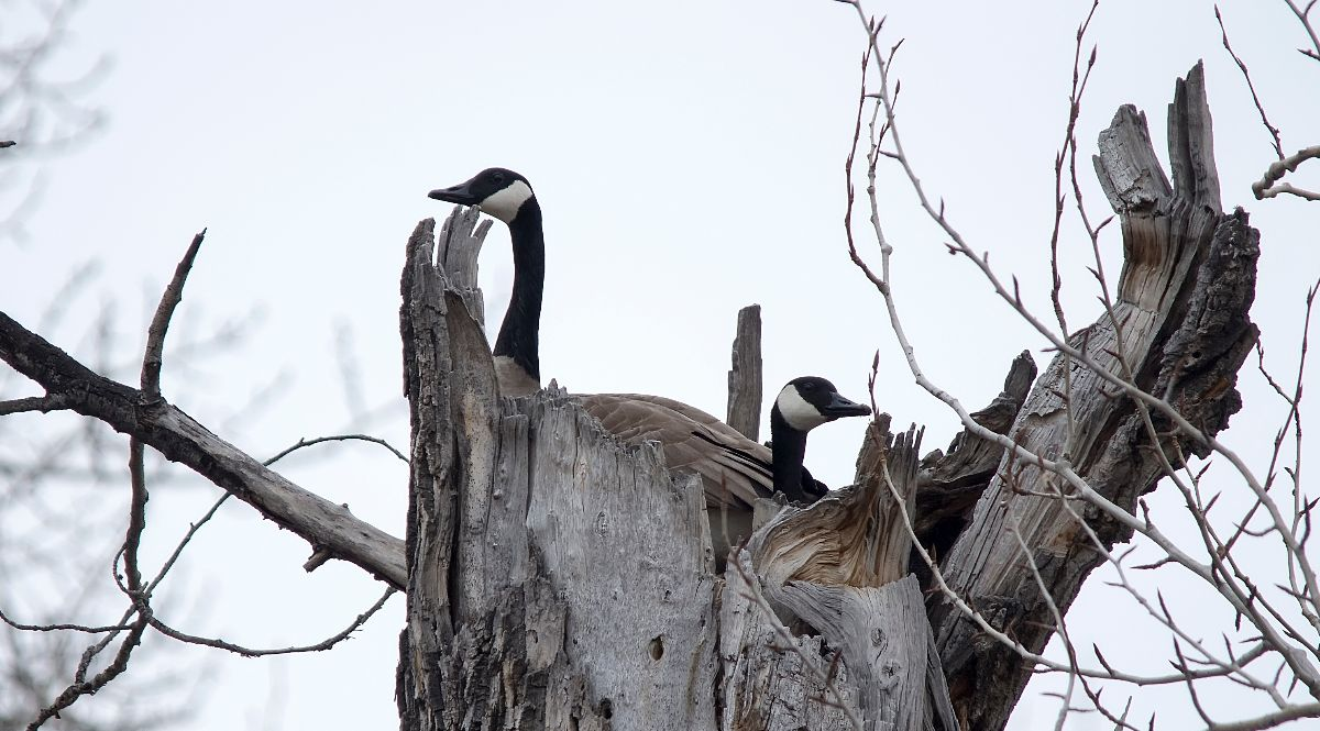 Canada Geese on nest
