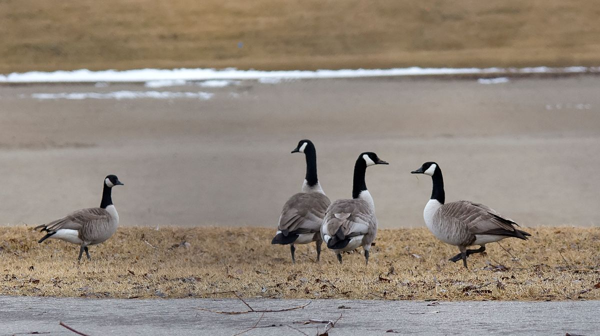 Cackling (left) and Canada Geese (right)