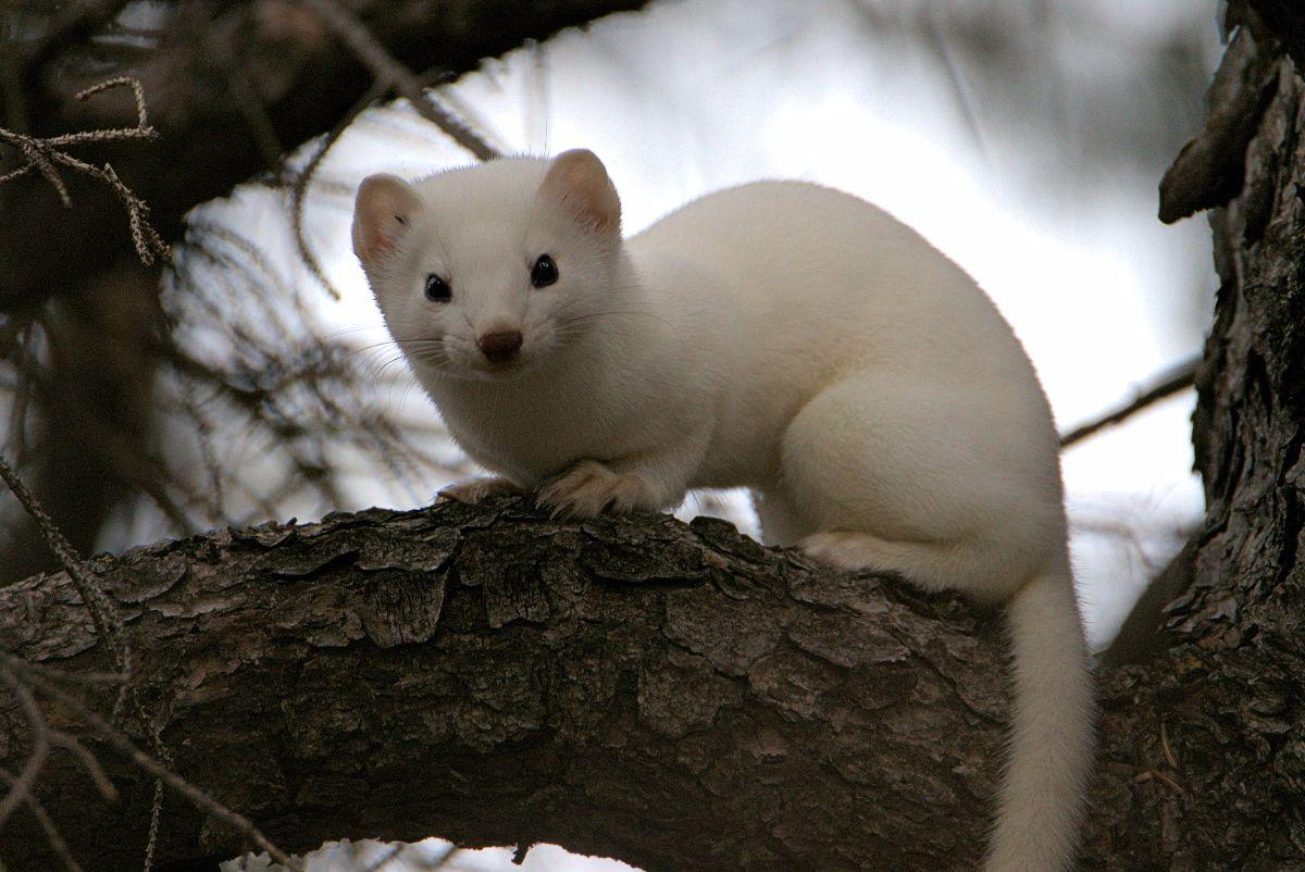 Weasel Nov 15 1
