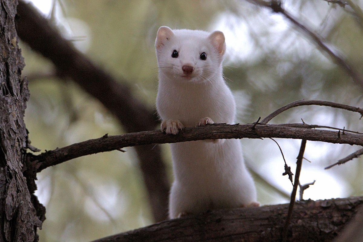 Weasel Nov 15 2