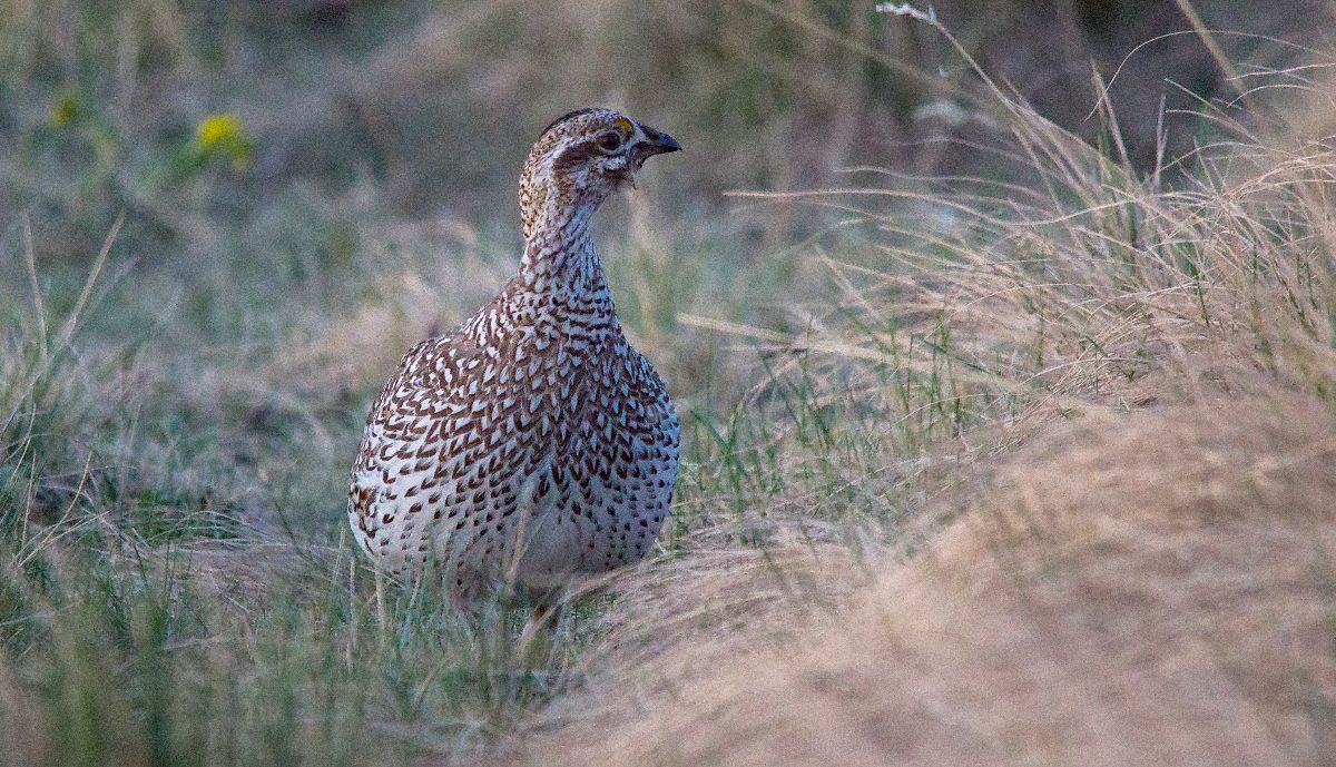 female Sharp-tailed Grouse