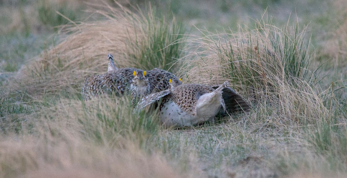 Sharp-tailed Grouse squaring off
