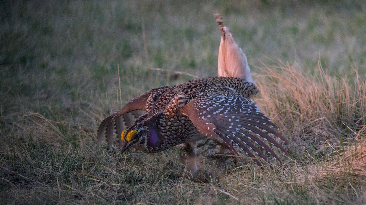 dancing Sharp-tailed Grouse