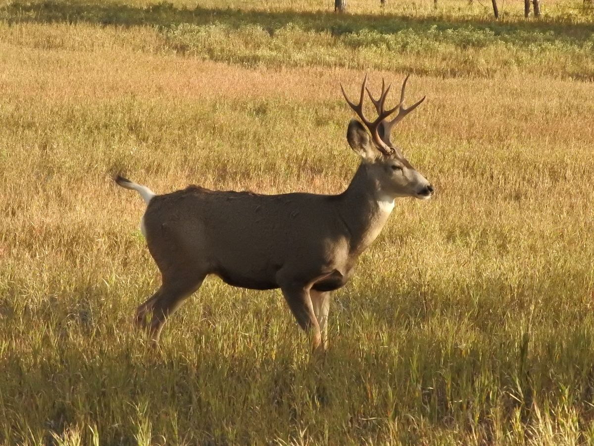 mule-deer-waking-up