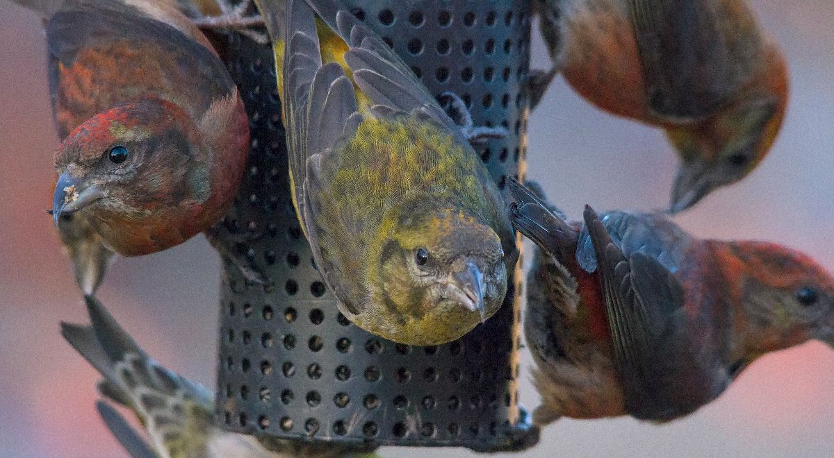 Red Crossbills at a feeder in SE Calgary