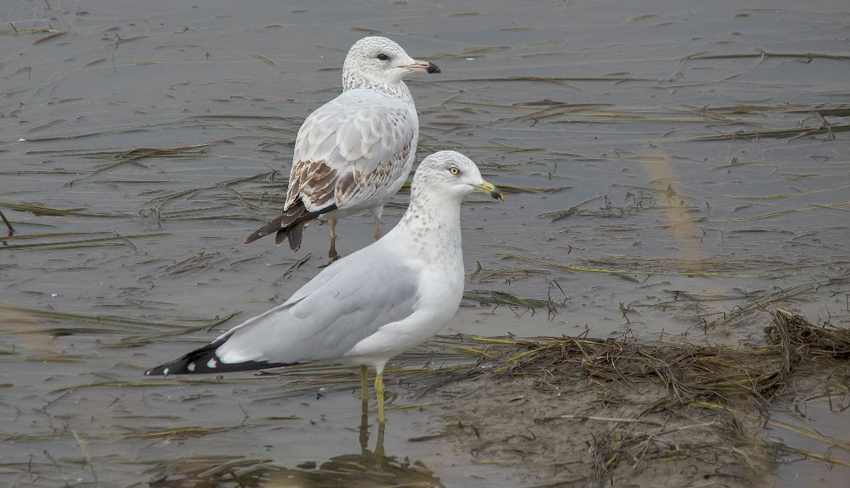 immature (back) and adult (fore) Ring-billed Gull