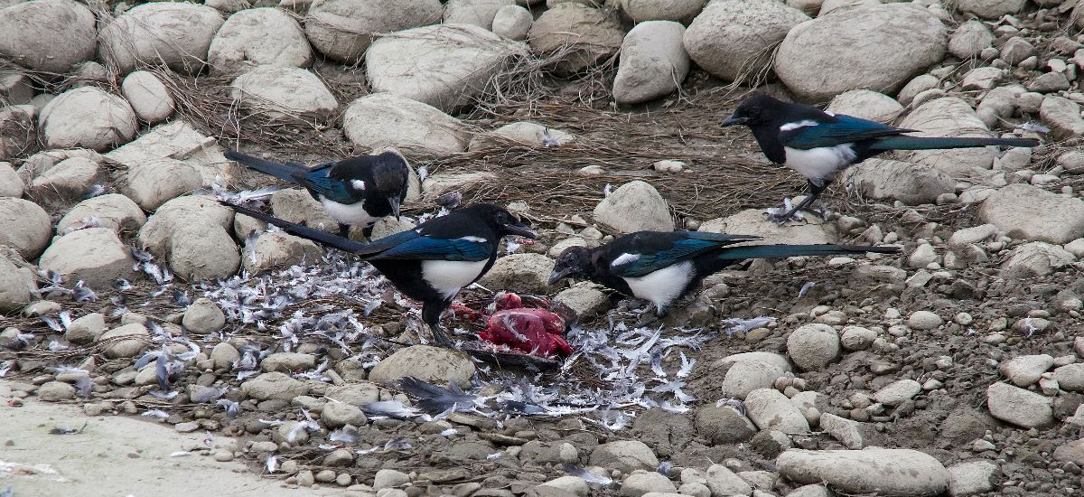 Black-billed Magpies scavenging Rock Pigeon remains