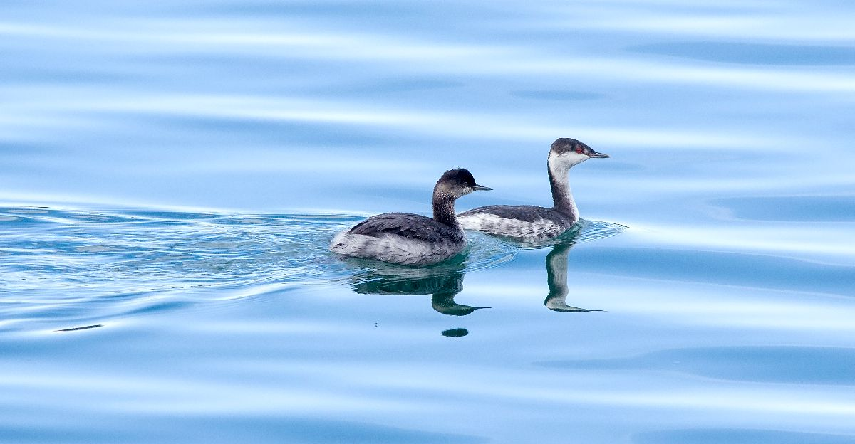 Fall Plumage Grebe 1 and 2 together