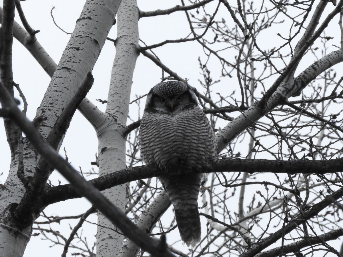 hawk-owl-judi-willis