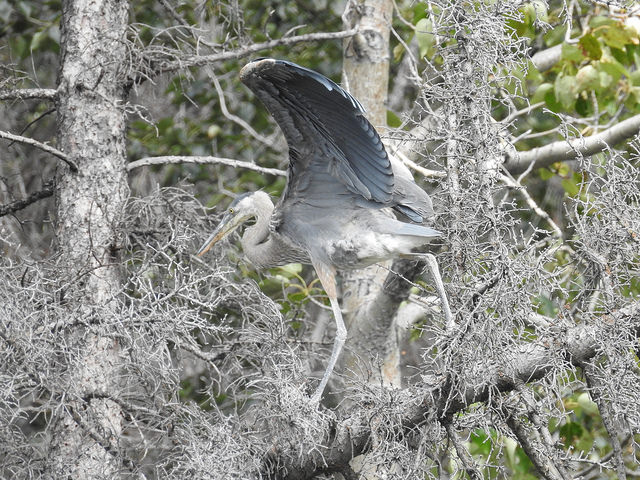great-blue-heron-1-august-2016-lac-des-arcs-alberta