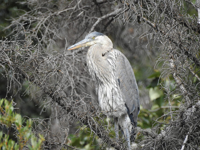 great-blue-heron-2-august-2016-lac-des-arcs-alberta