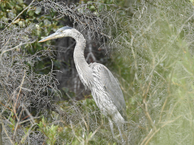 great-blue-heron-4-august-2016-lac-des-arcs-alberta
