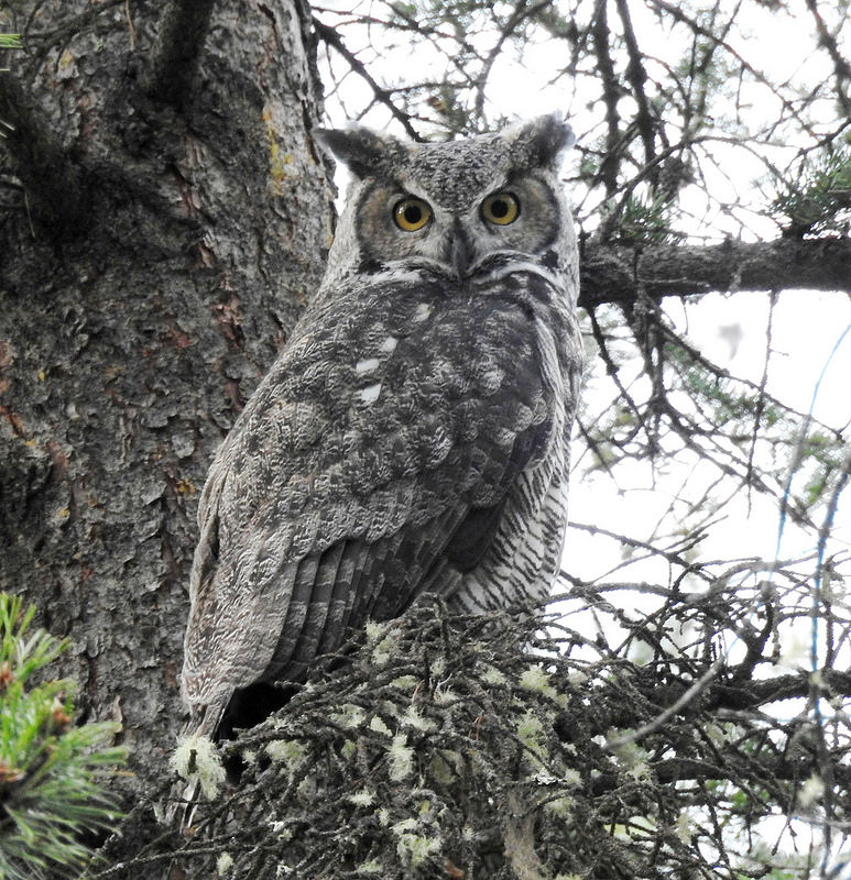 great-horned-owl-october-2016-canmore-alberta