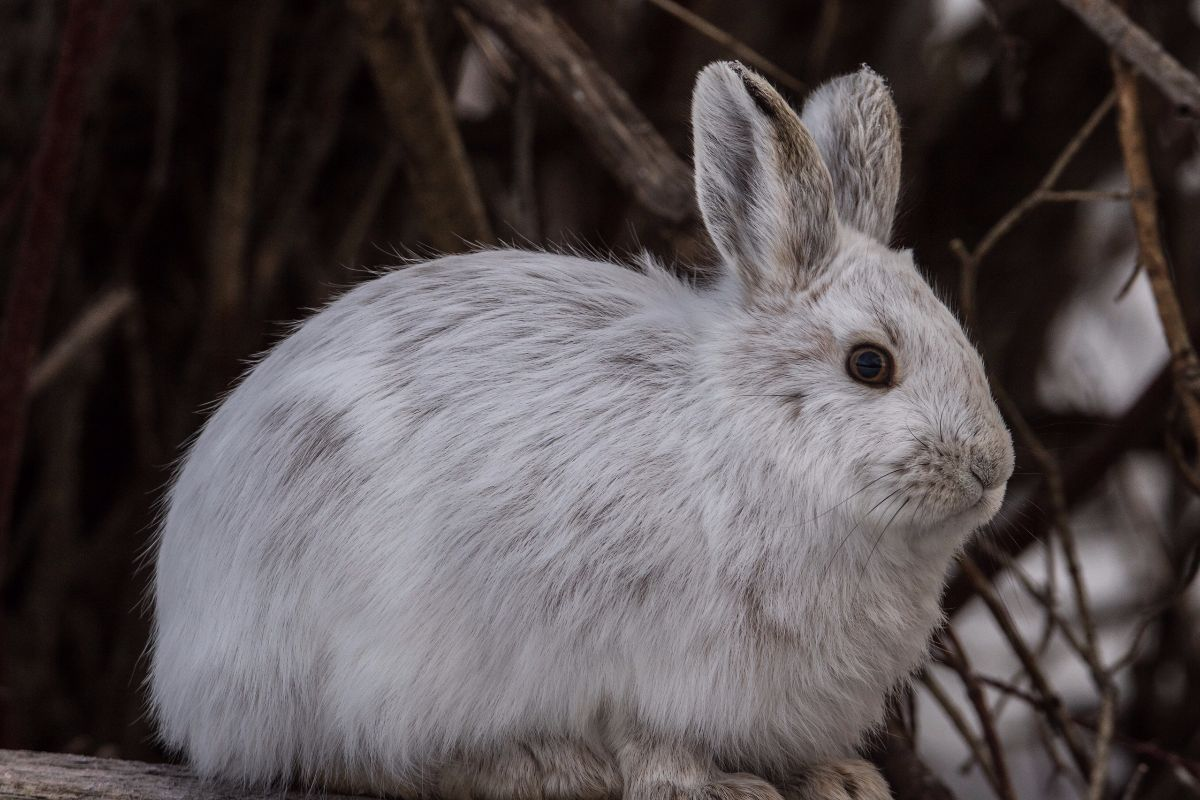 snowshoe hare Unlike most snowshoe hares, the fur of those that inhabit the coast of washington and oregon do not change white in the winter snowshoe hares can be identified by their large hind feet and the black ear tips.