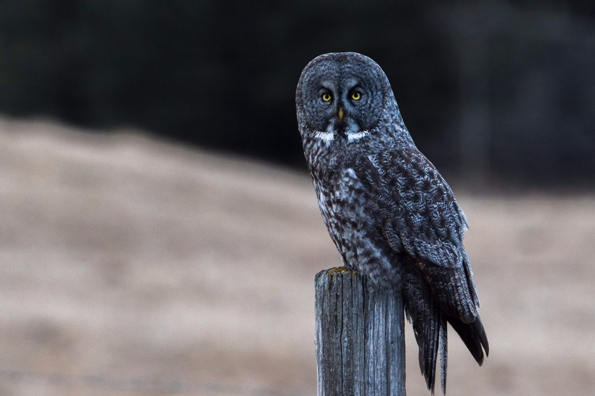 great gray owl facts - HD1200×800