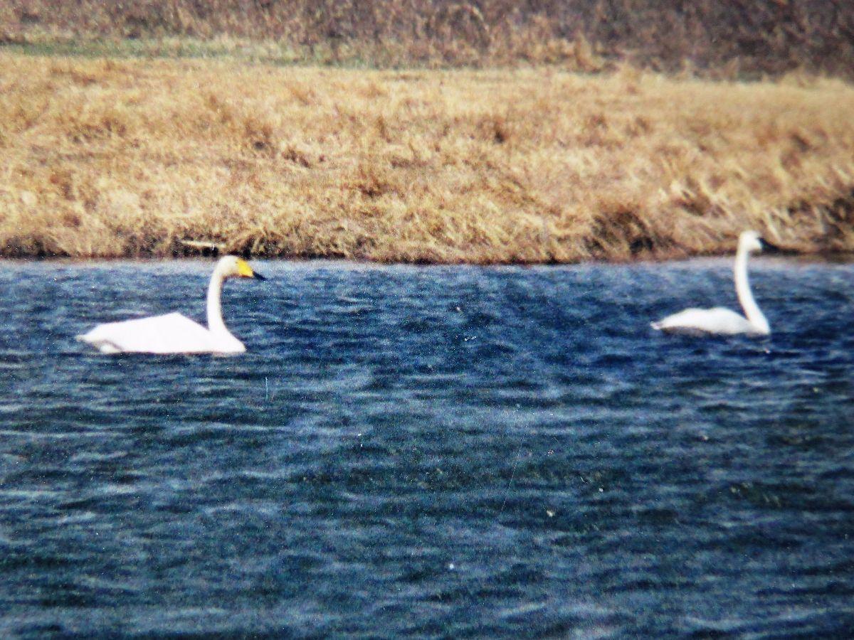 2786-whooper-swan