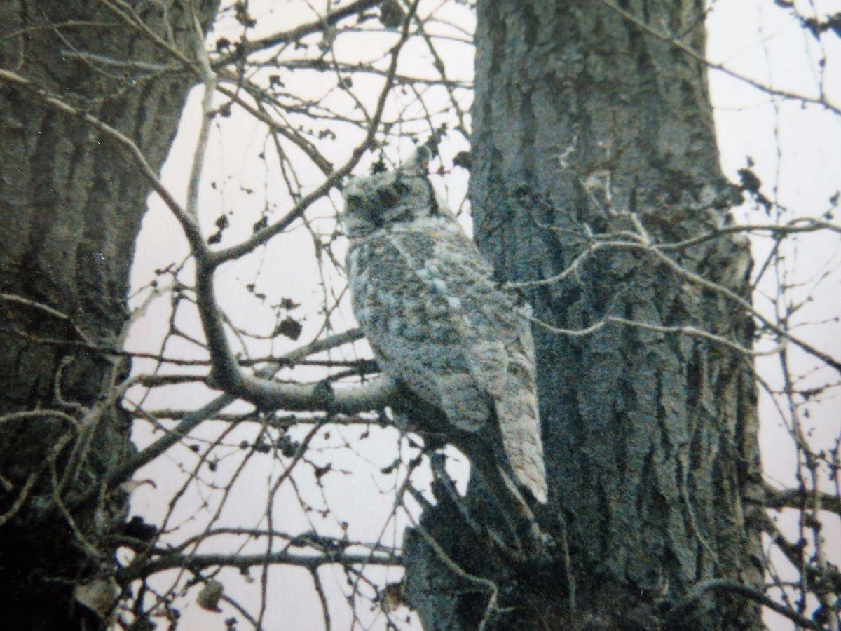 img_4352-leucistic-owl