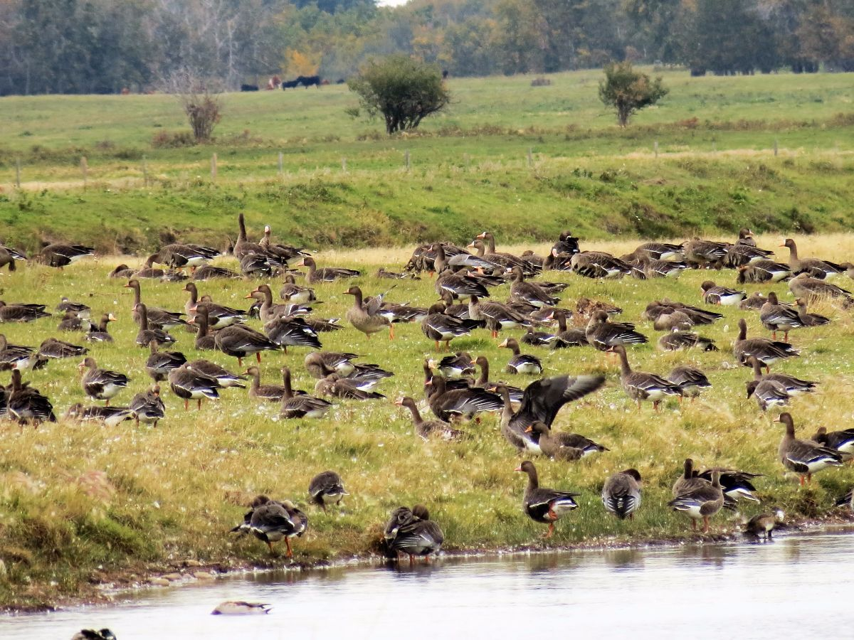 img_8806-white-fronted-geese