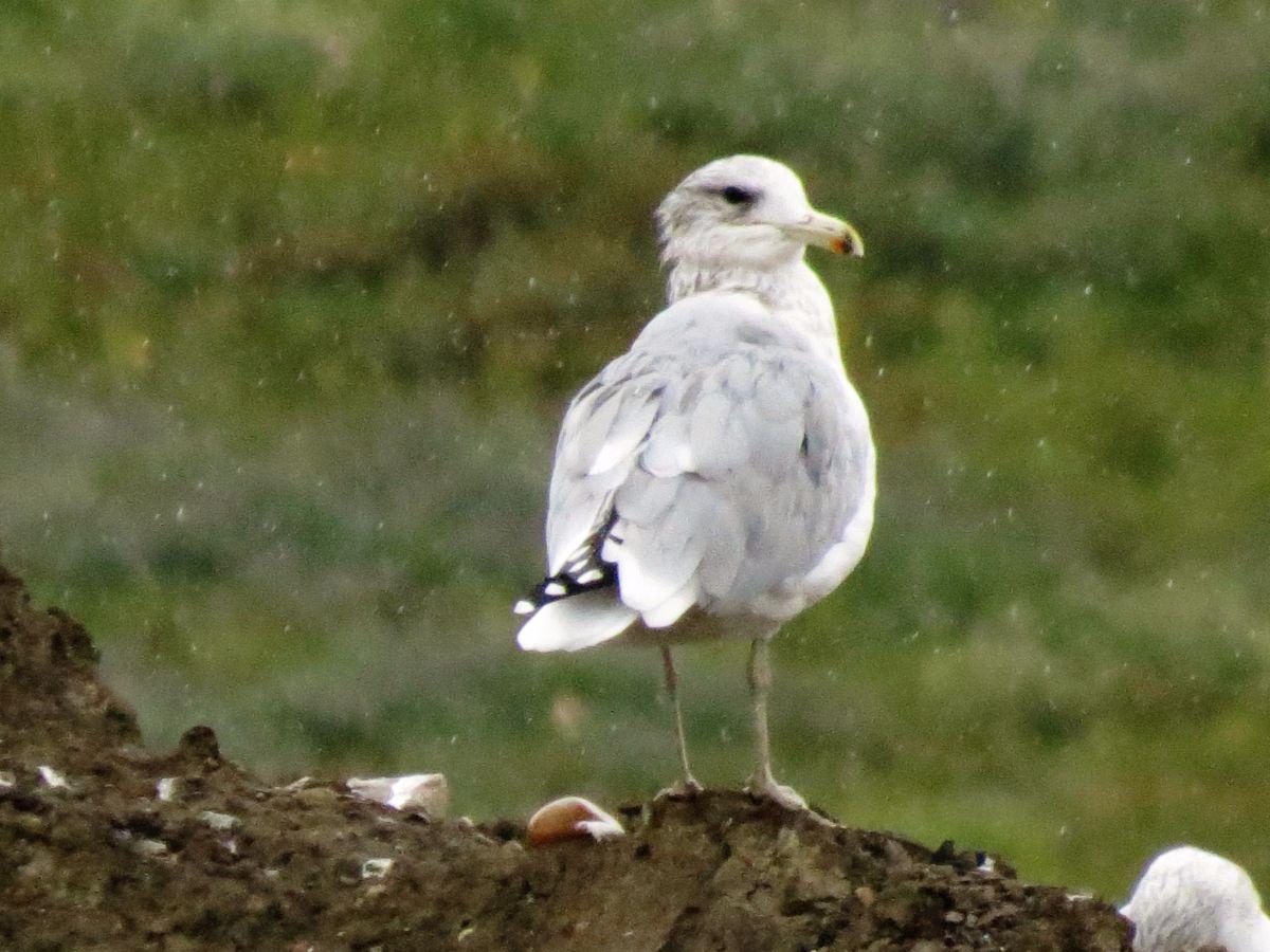 img_8869-hybrid-gull