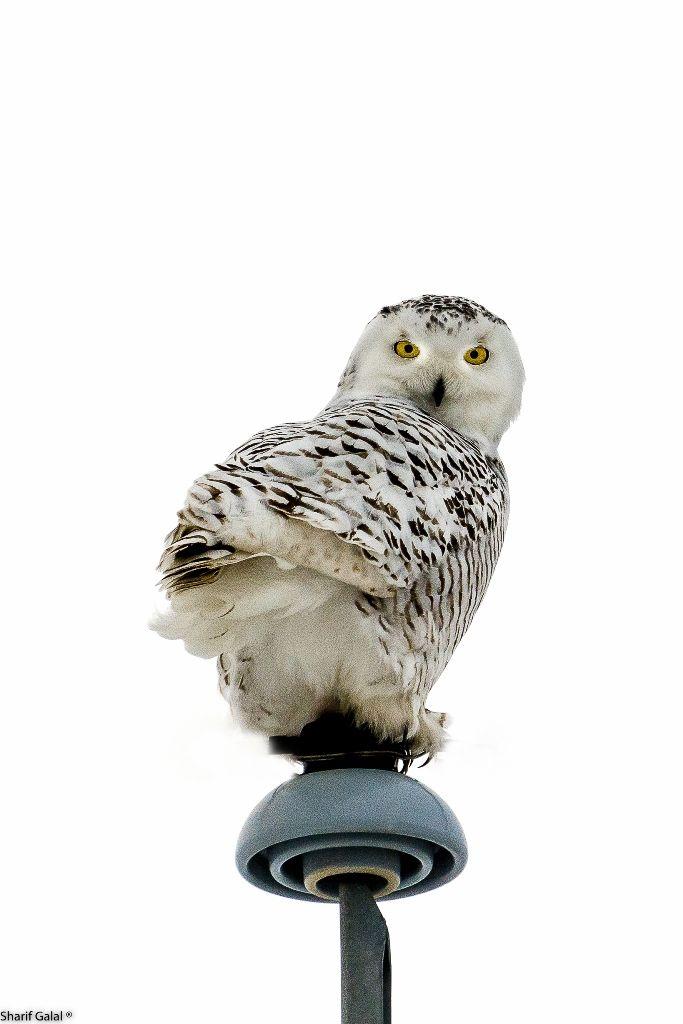 snowy owl (10)