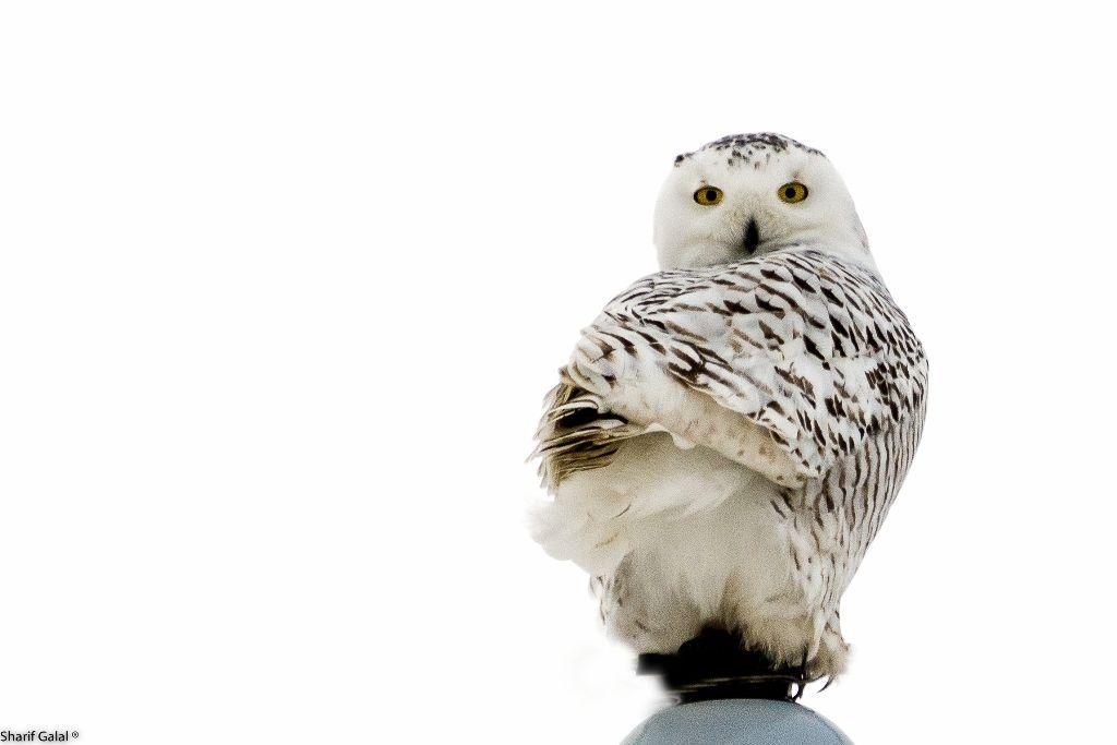 snowy owl (9)